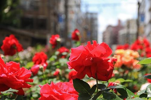 rose1902_x500.jpg