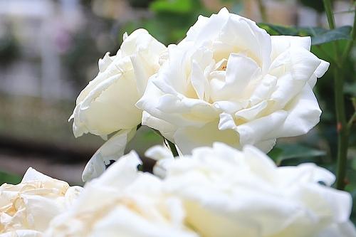 rose1906_x500.jpg