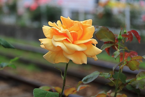 rose1908_x500.jpg
