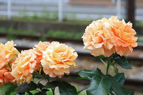 rose1913_x500.jpg