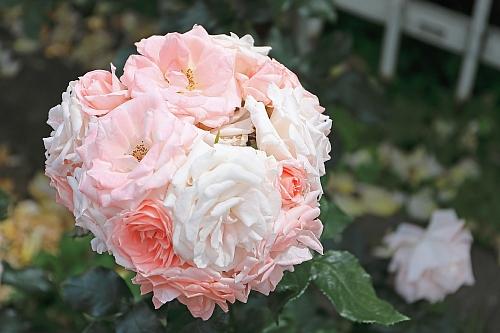 rose1928_x500.jpg
