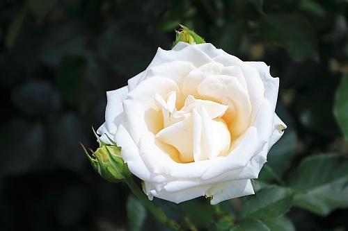 rose1929_x500.jpg
