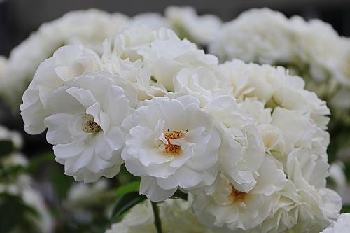 rose1931_x500.jpg