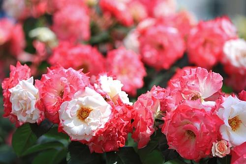 rose1939_x500.jpg